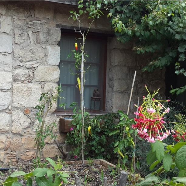 Peppers grow on Hemdatya in Israel
